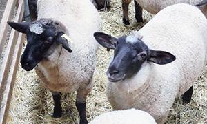 さとうみリファインの羊